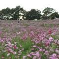 Photos: TON07240秋桜の丘 昭和記念公園