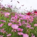 Photos: TON07246秋桜の丘 昭和記念公園