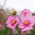 Photos: TON07249秋桜の丘 昭和記念公園
