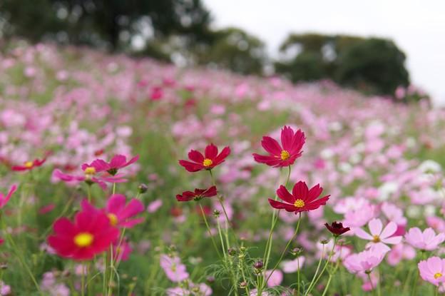 Photos: TON07250秋桜の丘 昭和記念公園