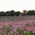Photos: TON07252秋桜の丘 昭和記念公園