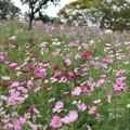 Photos: TON07255秋桜の丘 昭和記念公園
