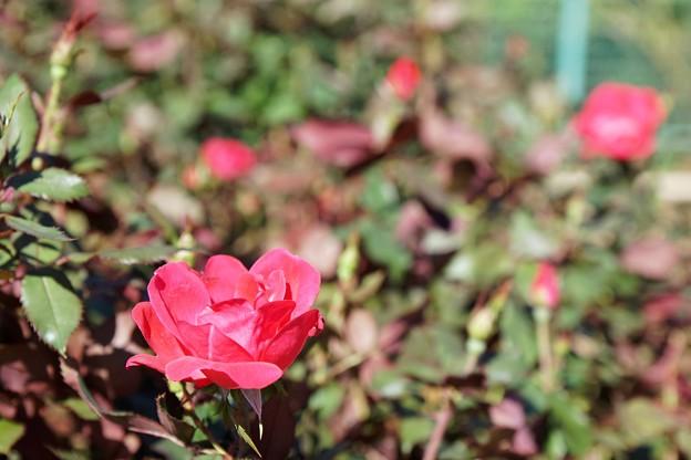 TON07288初秋の花菜ガーデン