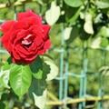 TON07290初秋の花菜ガーデン