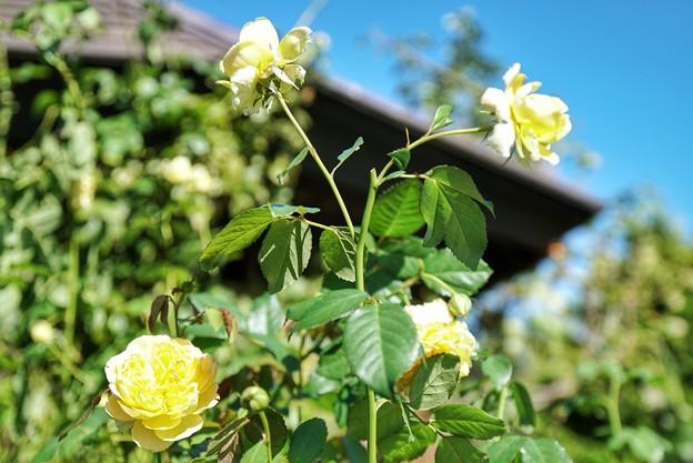 TON07301初秋の花菜ガーデン
