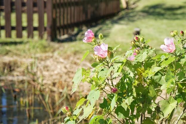 TON07358初秋の花菜ガーデン