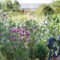 TON07364初秋の花菜ガーデン