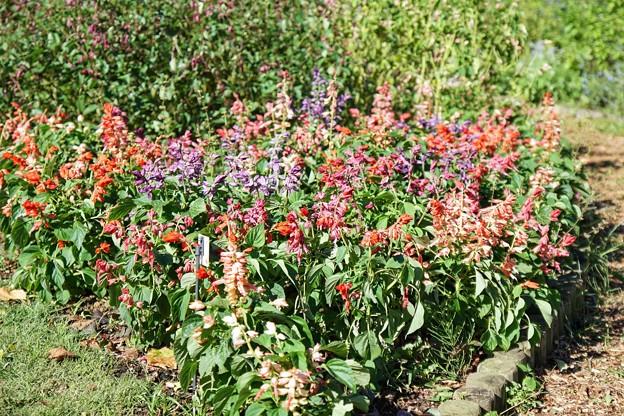 TON07386初秋の花菜ガーデン