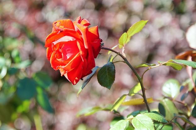 TON07398初秋の花菜ガーデン
