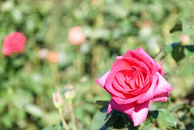 TON07401初秋の花菜ガーデン