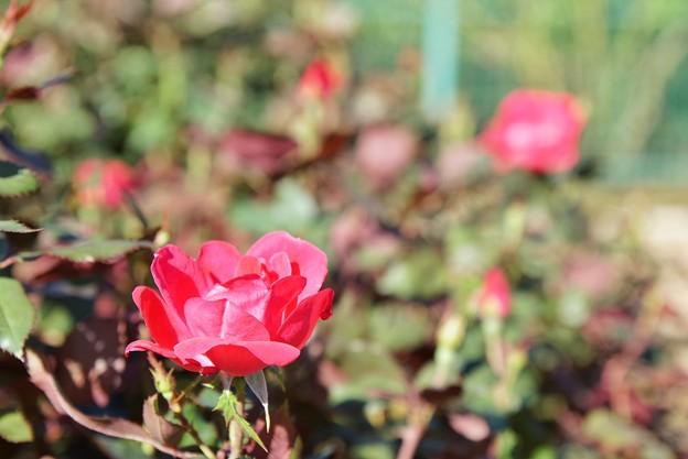 TON07402初秋の花菜ガーデン