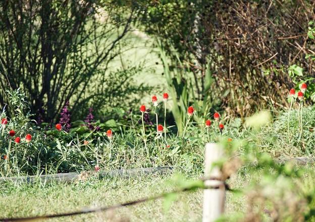 TON07412初秋の花菜ガーデン