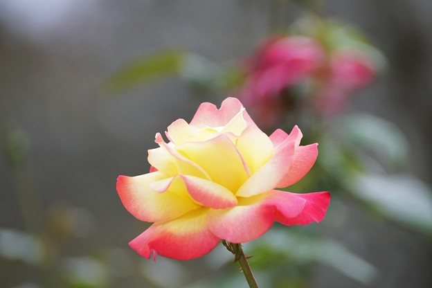 TON08151小田原FG秋薔薇