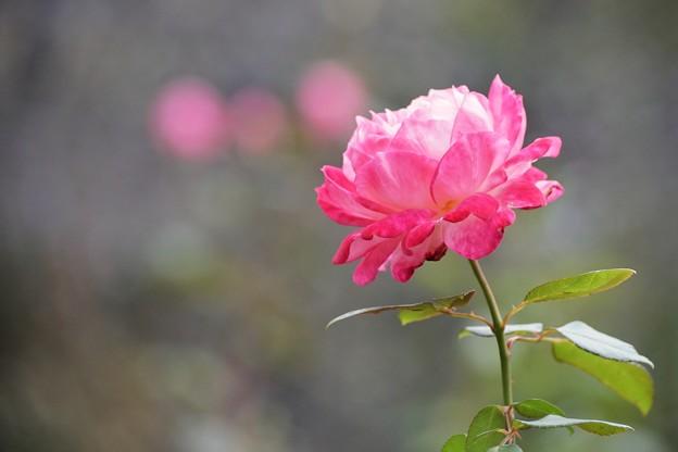 TON08165小田原FG秋薔薇