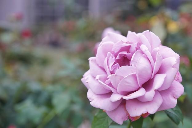 TON08195小田原FG秋薔薇