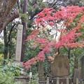 TON08521成田山紅葉狩りR1