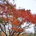 TON08533成田山紅葉狩りR1