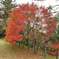 TON08536成田山紅葉狩りR1