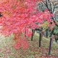 TON08537成田山紅葉狩りR1