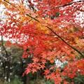 TON08542成田山紅葉狩りR1