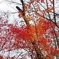 TON08547成田山紅葉狩りR1