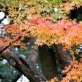 TON08642成田山紅葉狩りR1
