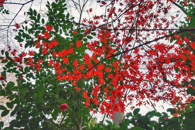 TON09417神代植物・深大寺紅葉R1