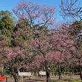 Photos: TOM00158郷土の森(早咲)