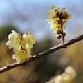 Photos: TOM00173郷土の森(早咲)