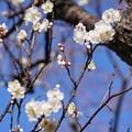 Photos: TOM00181郷土の森(早咲)