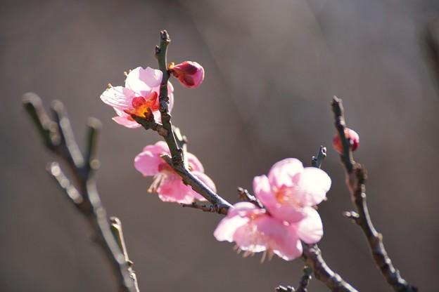 Photos: TOM00227郷土の森(早咲)