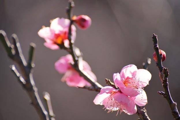 Photos: TOM00229郷土の森(早咲)