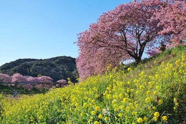 TOM00487みなみの桜と菜の花まつり