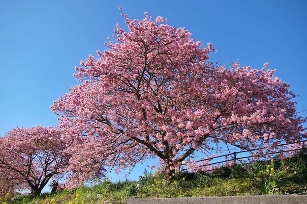 TOM00488みなみの桜と菜の花まつり