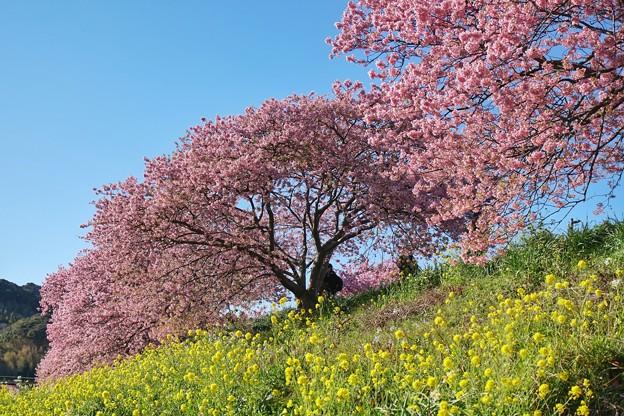 TOM00489みなみの桜と菜の花まつり
