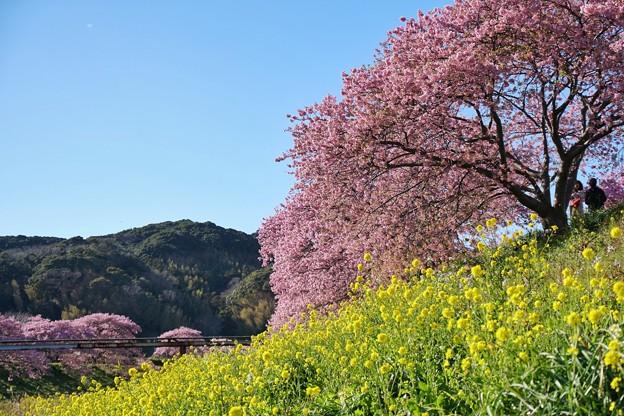 TOM00490みなみの桜と菜の花まつり