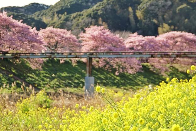 TOM00494みなみの桜と菜の花まつり
