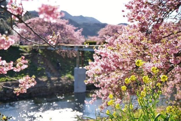 TOM00514みなみの桜と菜の花まつり