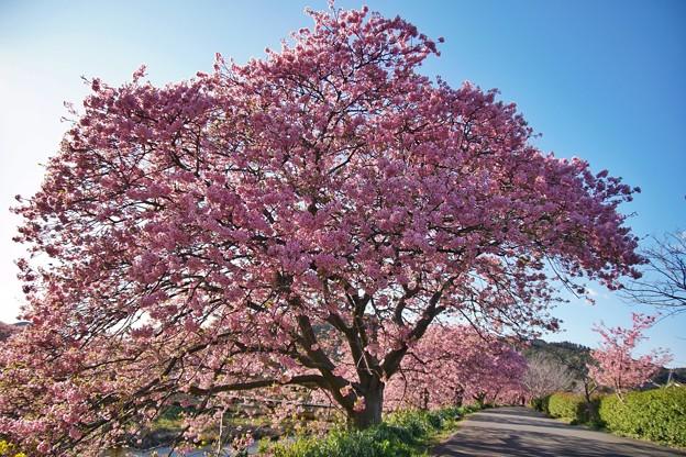 TOM00520みなみの桜と菜の花まつり