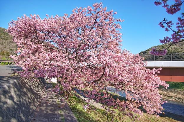TOM00522みなみの桜と菜の花まつり