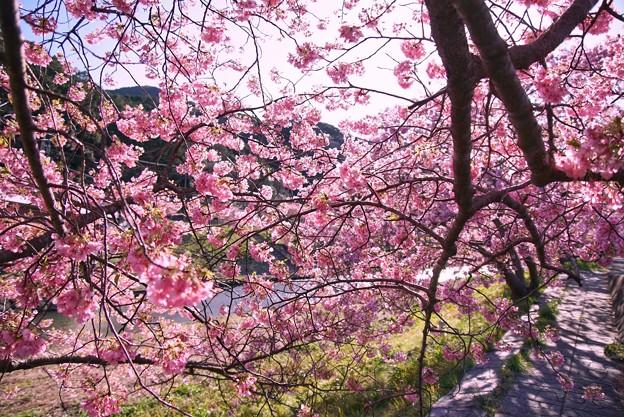TOM00526みなみの桜と菜の花まつり