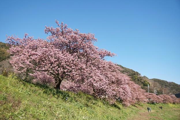 TOM00533みなみの桜と菜の花まつり