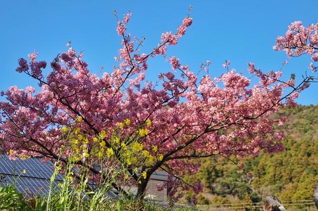 TOM00534みなみの桜と菜の花まつり