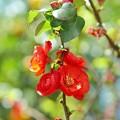 Photos: TOM00726木瓜の花