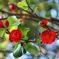 Photos: TOM00728木瓜の花
