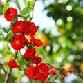 Photos: TOM00731木瓜の花