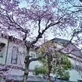 Photos: 深大寺(桜)_0195