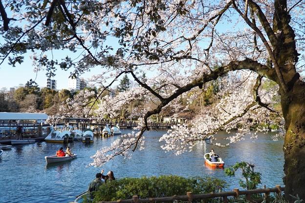 Photos: 井の頭公園(桜)_0201