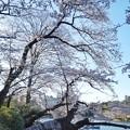 Photos: 井の頭公園(桜)_0202