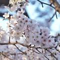 Photos: 井の頭公園(桜)_0203